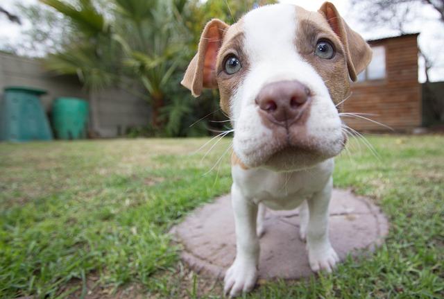 štěně pitbula